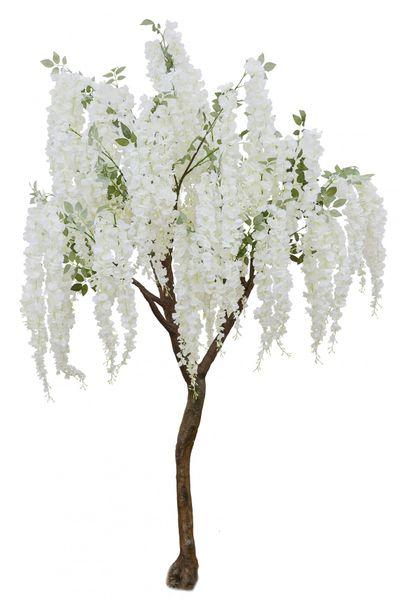 Cream Wisteria Tree (2.7m)