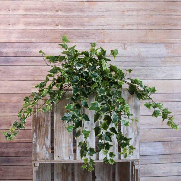 Sandringham Ivy Bush