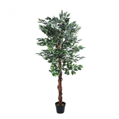 Varigated Ficus Tree (150cm)
