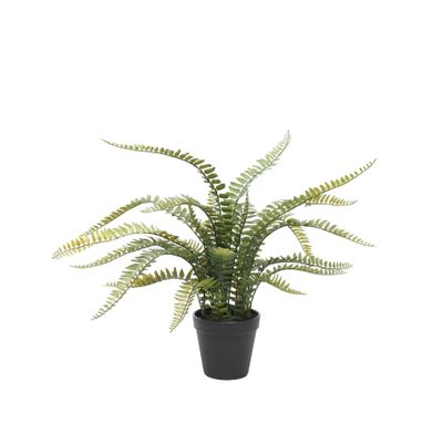 Potted Boston Fern (56cm)