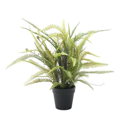 Potted Boston Fern (61cm)