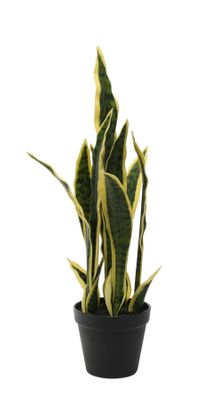 Potted Sansevieria (51cm)