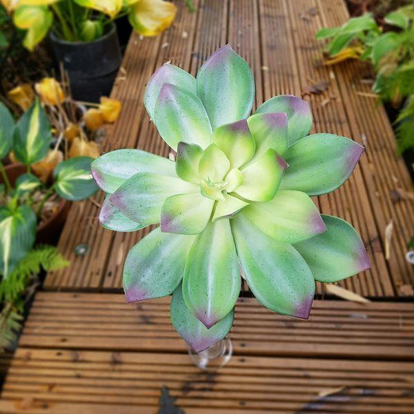 Display Succulent Green