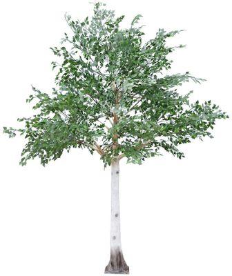3.3m Silver Birch Tree Green