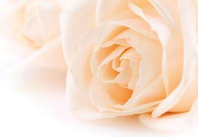 Soft Cream Rose Folded Card (pk25)