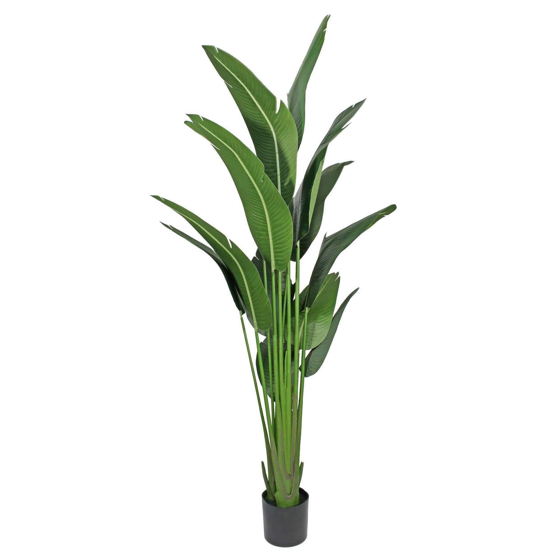 Strelitzia House Plant 220cm