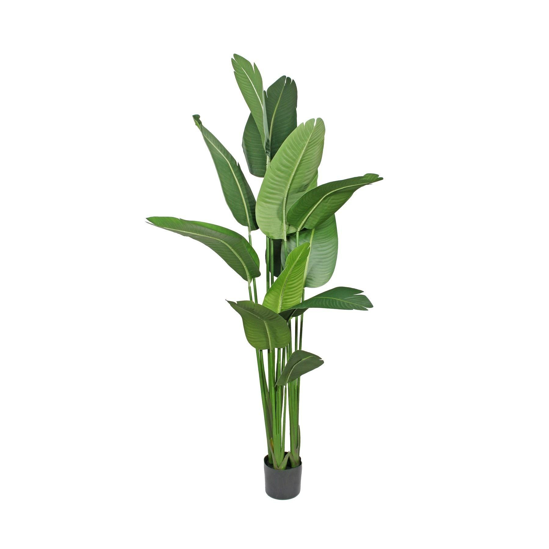 Strelitzia House Plant 180cm
