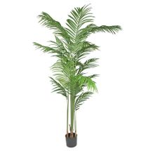 Kentia Palm 180cm
