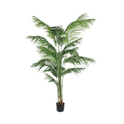 Kentia Palm 200cm