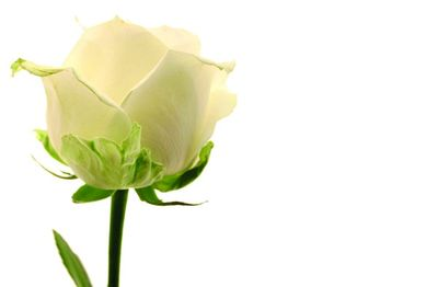 Cream Roses Greeting Card