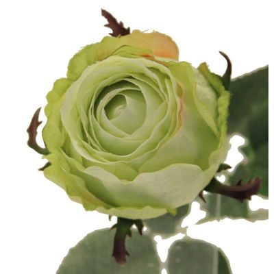Rose Light Green