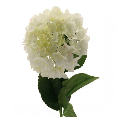 Single Cream Hydrangea