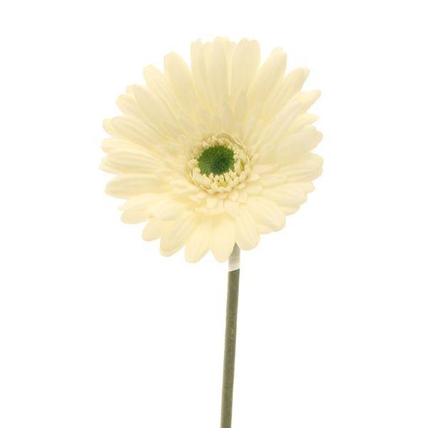 Cream Gerbera