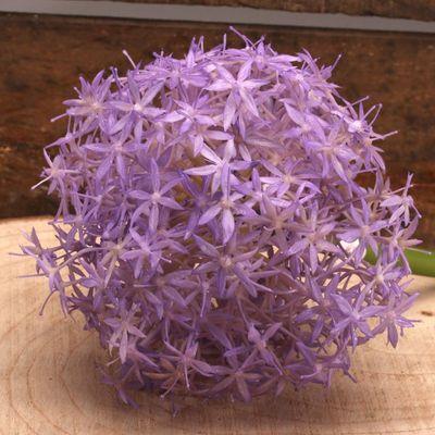 Alium Lavender