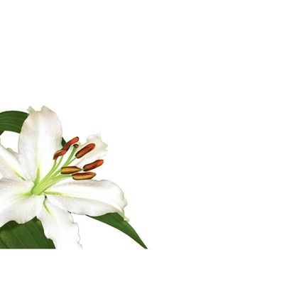 White Lily Greeting Cards (x50)