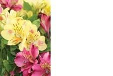 Yellow/Pink Alstromeria Greeting Cards (x50)
