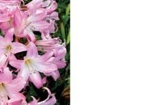 Pink Lilies Greeting Cards (x50)