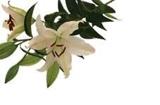 White Lilies Greeting Cards (x50)