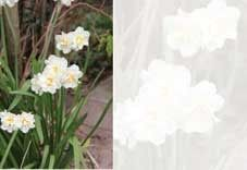 White Narcissus Greeting Cards (x50)