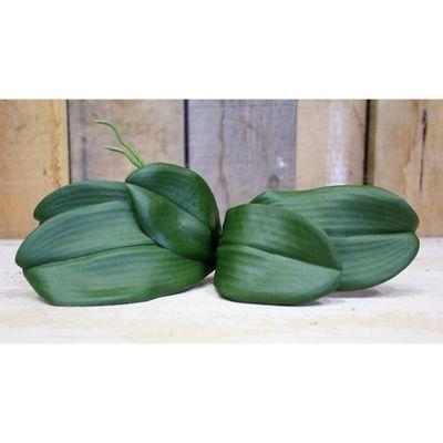 Phalaenopsis Leaves