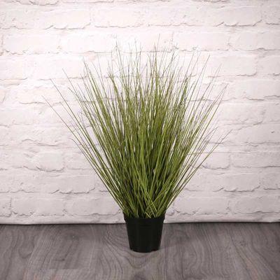 Festuca Grass Plant